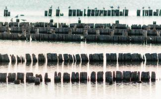 gaviotas en tocones de madera en el agua foto