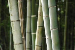 Green bamboo grove photo