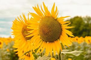 girasoles en la luz del sol foto
