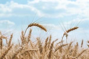 Blue sky and wheat photo