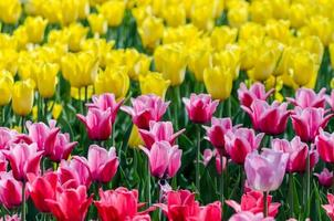 Pink and yellow tulips photo