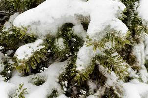 Snow on green fir branches photo