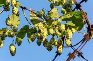 Hops on a vine photo