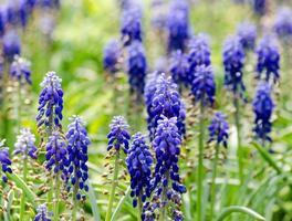 Blue hyacinth flowers photo