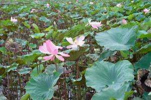 Landscape of blossom pink lotuses in the pond photo