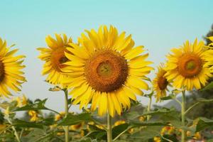 Close-up picture of blooming sunflowers in the plantation field