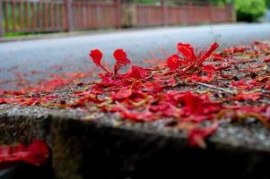 Abstract texture and background of red blossom flowers falling on the concrete floor photo