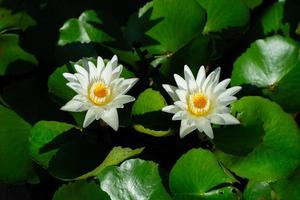 Close-up of blooming lotus in the pond with water drops on the petals photo