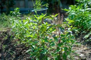 Close-up of organic basil tree growing in the backyard photo