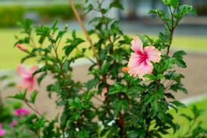 Selective focus on the pollen of blossom pink hibiscus flower with blurred background of garden photo
