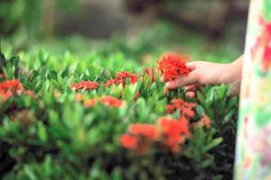Closeup of bloomed spike red flowers with blurred girls hand holding a bunch