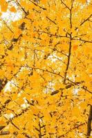 Abstract texture and background of yellow leaves with the isolated background photo