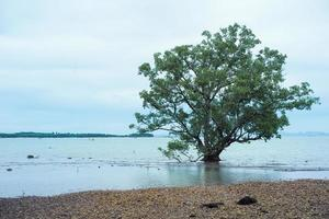 Isolated big old mangrove tree on the beach photo