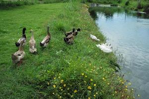 Group of ducks and geese walking in the field photo