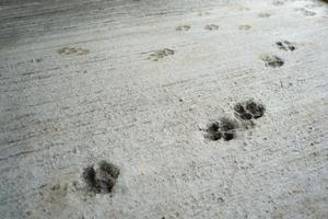 Huellas de perro en el piso de concreto en el sitio de construcción foto