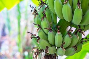 Green group of bananas photo