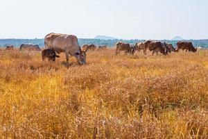 Cows grazing in grass photo