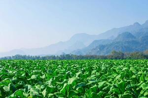 Tobacco field and mountains photo