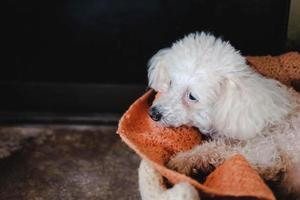 The white poodle on a bed photo