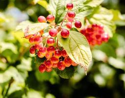 uvas rojas y hojas verdes foto