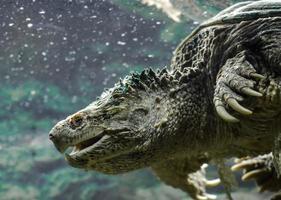 tortuga caimán en el agua foto