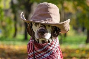 Dalmatian in a brown cowboy hat and plaid scarf photo