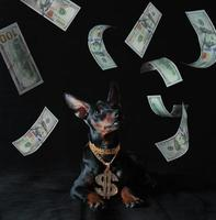 Cachorro pinscher miniatura con un colgante de oro y dinero sobre un fondo negro foto