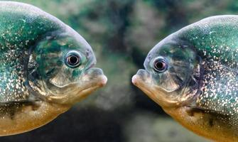 Two piranhas looking at each other