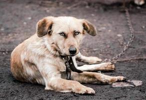 perro en una cadena foto