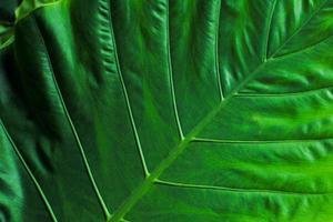 Closeup top view of elephant ear leaves photo