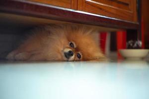 Retrato de perro pomerania soñoliento tirado en el suelo y mirando a la cámara foto