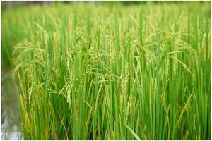 Ear of rice in the field with blurred leaf of rice