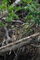 Selective focus on monkeys sit on the roots of mangrove trees with blurred jungle in background photo
