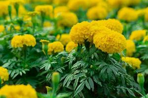 Closeup blossom of marigold flowers in the outdoor garden photo
