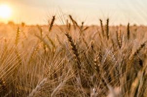 Rye field at sunset photo