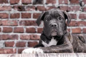 Cachorro de Cane Corso negro sobre fondo de pared de ladrillo