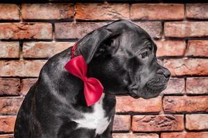 cachorro blanco y negro con un lazo rojo