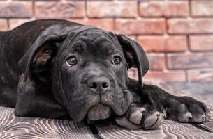 primer plano, de, un, perrito negro foto