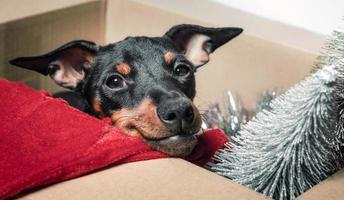 Miniature pinscher puppy peeking out of a box photo