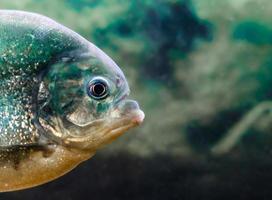 Close-up of a piranha
