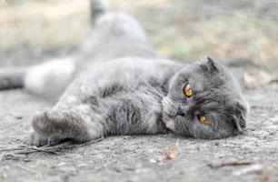 Scottish Fold cat on the ground photo