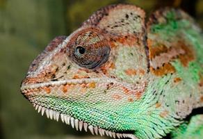 Close-up of a chameleon's head