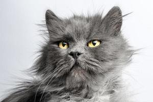 Grey cat with yellow eyes photo