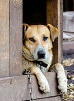 perro en una cadena en una caseta de perro foto