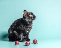 gato calicó oscuro con adornos navideños foto