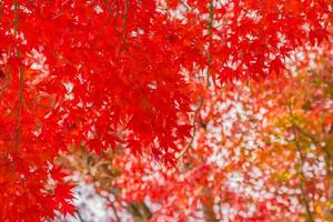Beautiful red maple leaves on tree