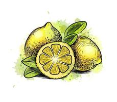 Lemon with leaves from a splash of watercolor, hand drawn sketch. Vector illustration of paints