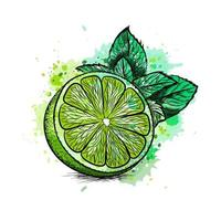 Fresh lime with leaves and mint from a splash of watercolor, hand drawn sketch. Vector illustration of paints