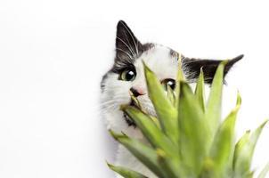 gato detrás de una planta sobre un fondo blanco foto