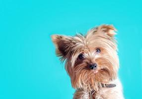 Terrier puppy on a blue background photo